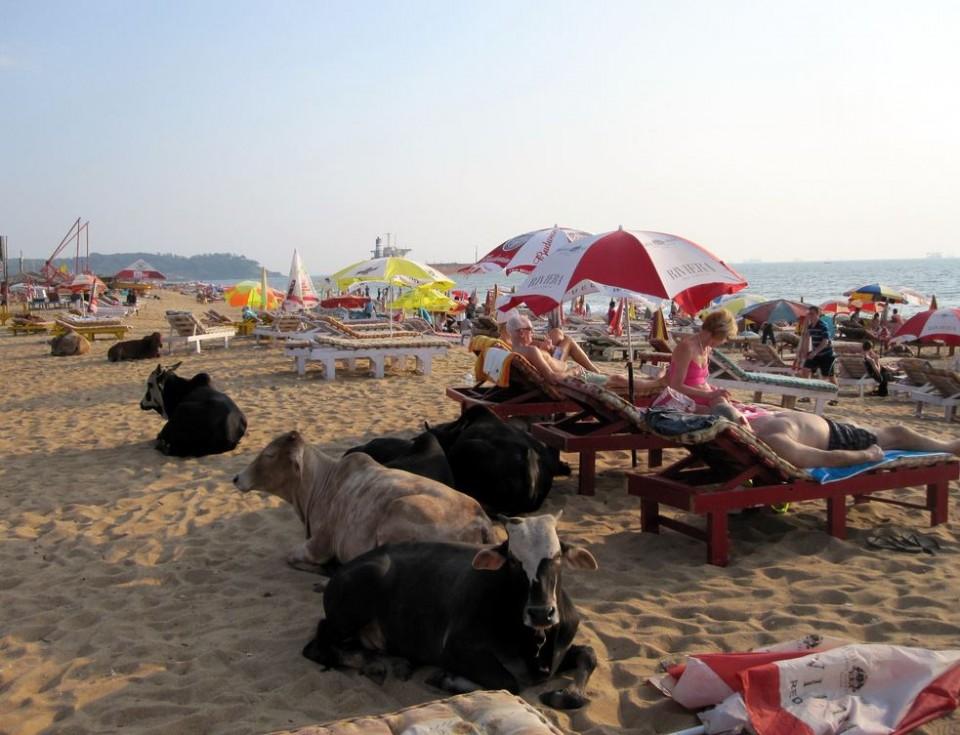 Cows on beach no20