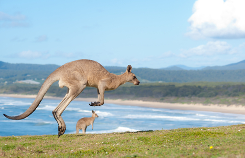 beach kangaroos, Emerald Beach, Australia